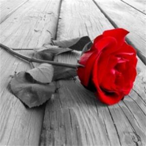 Rote Rose  6.80.-