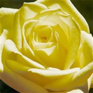 Weisse Rose 6.80.-