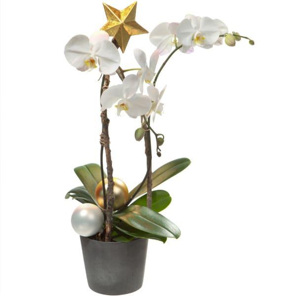 Phalenopsis Pflanze adventlich mit Orchideen und edlem Adventsschmuck