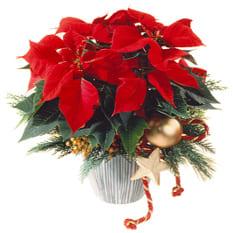 Weihnachtsstern garniert mit Poinsettia Weihnachtsstern, Tannengrün ausgarniert und Beiwerk