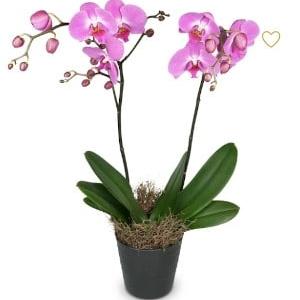 Blumen Bern Phalenopsis im Topf lila Orchidee Pflanze