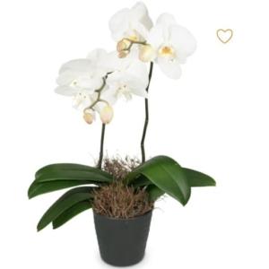 Ein schöne weisse gut riechende Orchidee